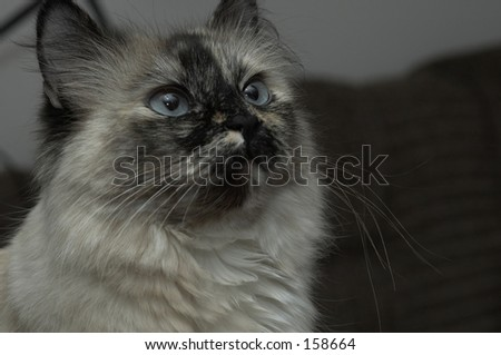 adult himalayan cat pure breed - stock photo