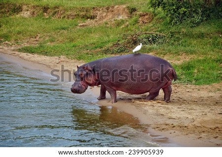 Adult hippo with a bird on top on the shore of Kazinga Channel at Queen Elizabeth National Park, Uganda - stock photo