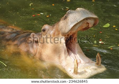 Adult Hippopotamus (Hippopotamus amphibius) with mouth open  - stock photo