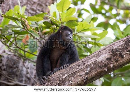 Adult howler monkey sitting on a tree branch - stock photo