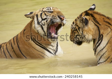 Adult Indochinese tigers fight in the water. The Indochinese tiger (Panthera tigris corbetti) is a tiger subspecies found in the Indochina region of Southeastern Asia. - stock photo