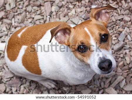 Adult Jack Russell Terrier looking up from the ground - stock photo
