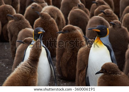 Adult King Penguins (Aptenodytes patagonicus) standing amongst a large group of nearly fully grown chicks at Volunteer Point in the Falkland Islands.  - stock photo