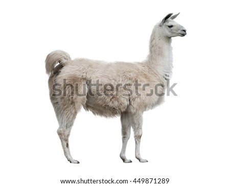 adult lama exterior isolated over a white background - stock photo