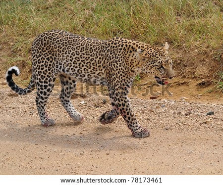 adult leopard walks along the road after the hunt