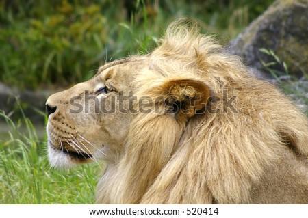 Adult Lion profile - stock photo