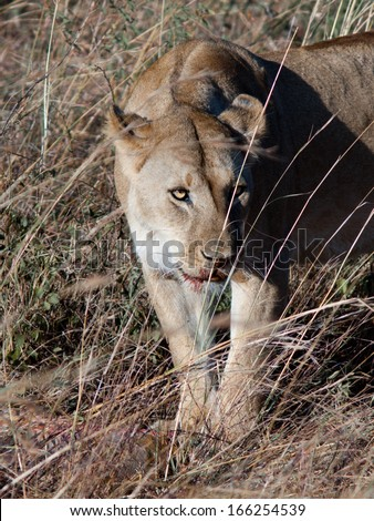 Adult lioness looks askance - stock photo