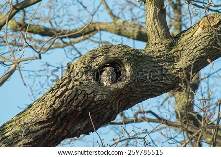 Adult Little Owl roosting in hole in tree - stock photo