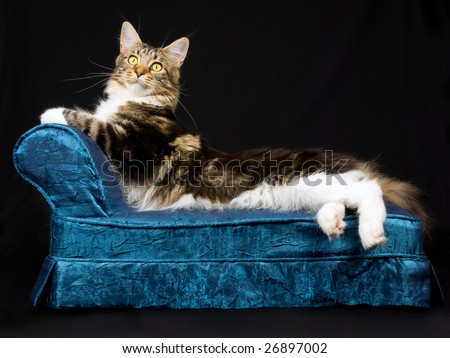 Adult Maine Coon brown tabby with white on miniature blue chaise sofa on black background - stock photo
