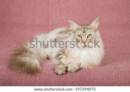 Adult Maine Coon lying down on dusty pink mauve background