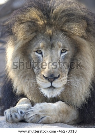 adult male African lion looking at camera - stock photo