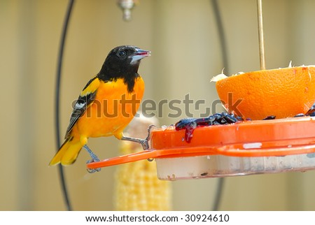 Adult Male Baltimore Oriole perched on a feeder.