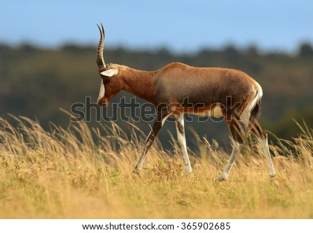 Adult male Blesbok Damaliscus pygargus phillipsi, brown antelope with horns, white blaze on the face,endemic to South Africa,in movement on dry savanna horizont,distant blue and green background.
