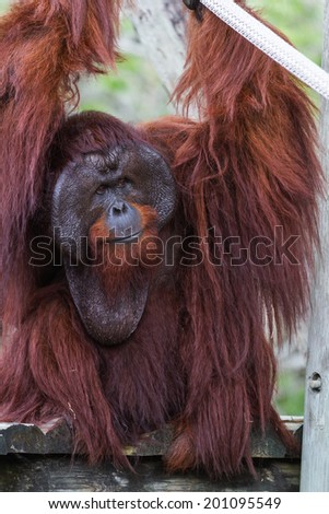 adult male bornean orangutan holding on to ropes at the zoo - stock photo