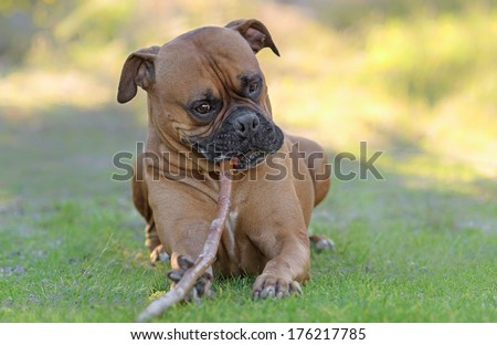 Adult male boxer dog posing outdoors and plays with a wooden stick - stock photo