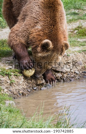 adult male brown bear early spring with green grass and muddy water