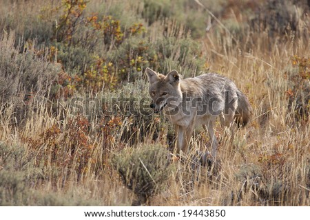 Adult Male Coyote Approaching a Dead Bison to Feed in Yellowstone National Park - stock photo