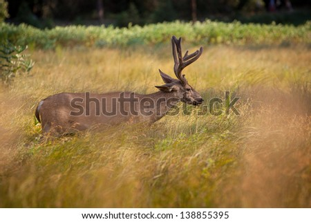 Adult male deer in Yosemite valley crossing through tall grass in warm afternoon sunlight. - stock photo