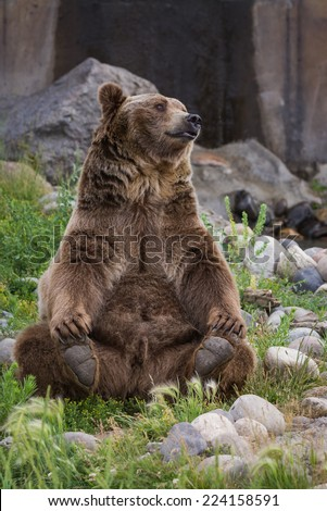 Grizzly bear sitting up - photo#39