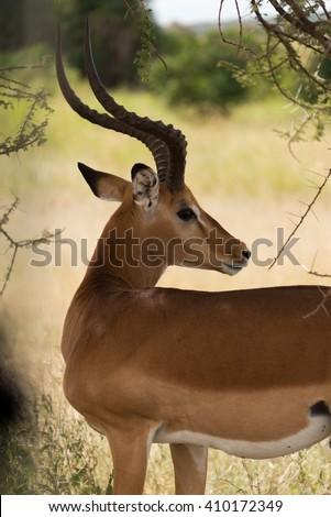 adult male impala in serengeti national park, tanzania - stock photo