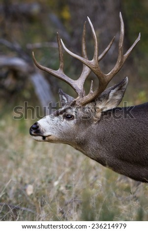 adult male mule deer with a nice rack in Zion NP Utah - stock photo