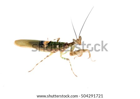 Adult male of Pseudocreoboter mantis isolated on white