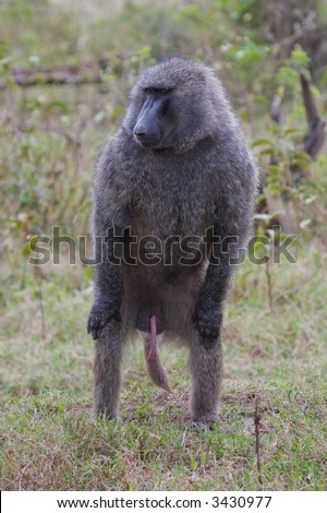 Erect gorilla penis