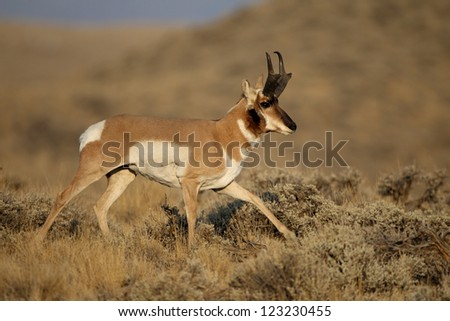 Adult Male Pronghorn Antelope in Buffalo Bill State Park, Cody Wyoming - stock photo