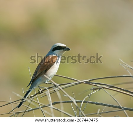 Adult male Red-backed Shrike on Lesvos, Greece - stock photo
