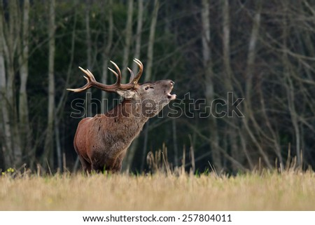 Adult male Red Deer roaring in natural environment during annual rut. Taken in the wilderness. - stock photo
