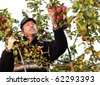 Adult man admires apples in the tree. - stock photo
