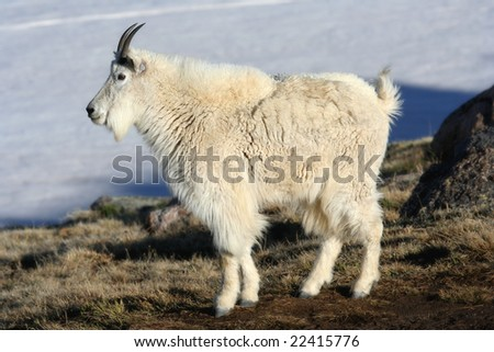 Adult Mountain Goat on Mount Evans, Colorado