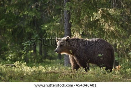 Adult of Brown bear (Ursus arctos) silhouette at sunset. Morning in summer forest