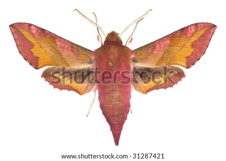 adult of Small Elephant Hawk-moth (Deilephila porcellus) isolated on white