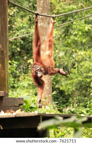 Adult Orang-Utan hanging from rope