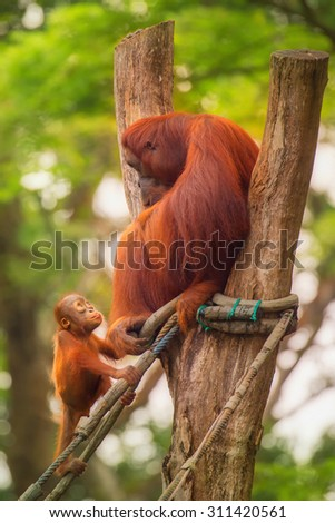 Adult orangutan sitting with jungle as a background. - stock photo