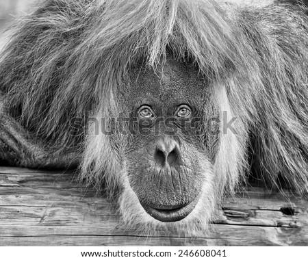 Adult orangutan staring intently at the camera - stock photo