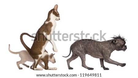 Adult Oriental Shorthair standing on hinds leg with kitten walking behind following crossbreed dog against white background - stock photo