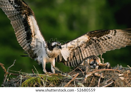 adult osprey bringing fish to young chick in nest at cypress tree - stock photo