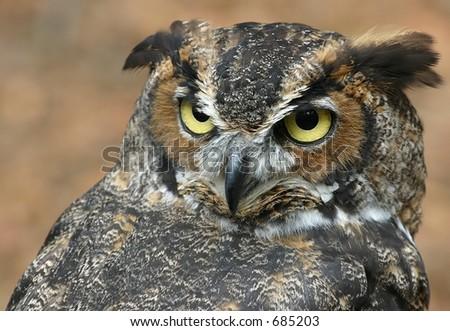 Adult owl - stock photo