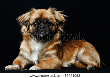 adult pekingese in sitting position closeup studio isolated shot - stock photo