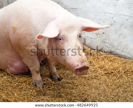 Adult pig with sad eyes.