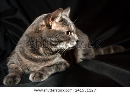 Adult purebred gray cat lying - stock photo