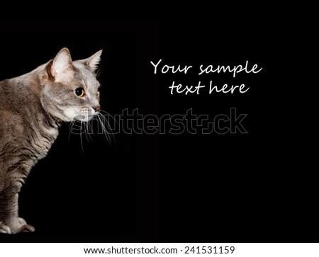 Adult purebred gray cat portrait. - stock photo
