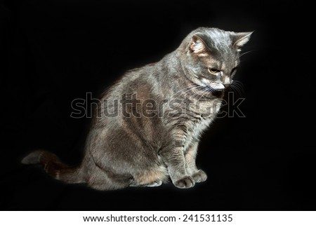 Adult purebred gray cat sitting - stock photo