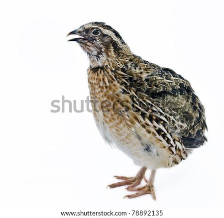 adult quail isolated on white background - stock photo