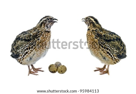 Adult quails and eggs isolated on white background - stock photo
