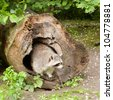 Adult raccoon at his nest / Procyon lotor - stock photo