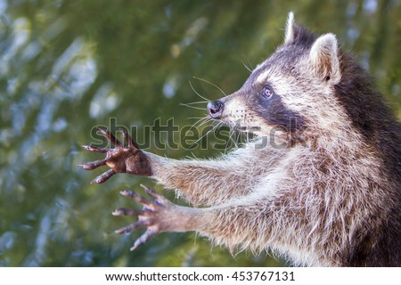 Adult racoon begging for food, water background - stock photo
