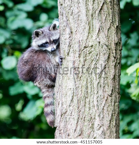 Adult racoon climbing a large tree, selective focus